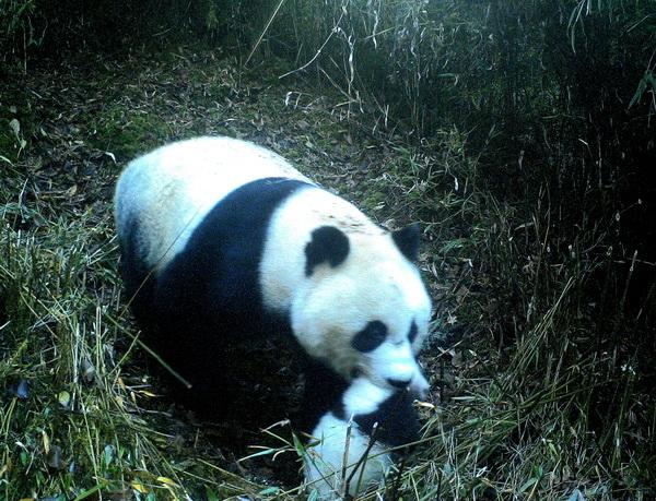 九寨沟拍到野生大熊猫携子同游(图)